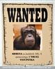 Wanted Schimpanse