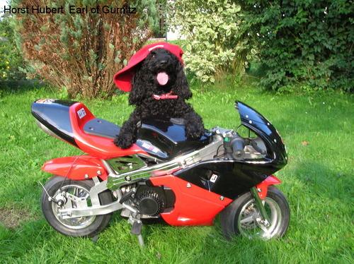Pudel Biker: Trixi