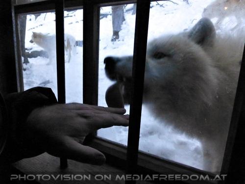 Polar Wölfe 09: Charly Swoboda