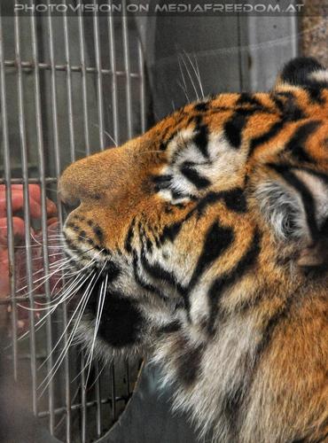 Fütterung mit der Hand: Sibirischer Tiger