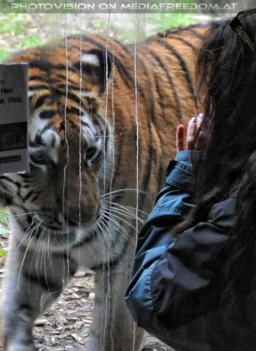 Sibirische Tiger 11: Eva D.