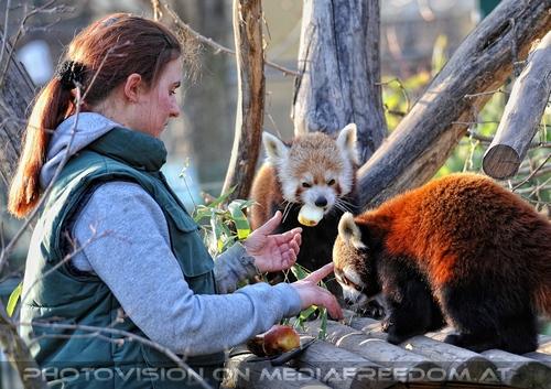 Fütterung roter Pandas 18