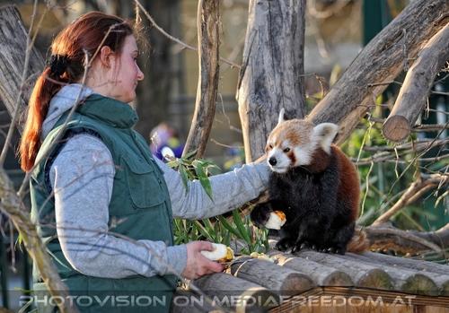 Fütterung roter Pandas 20