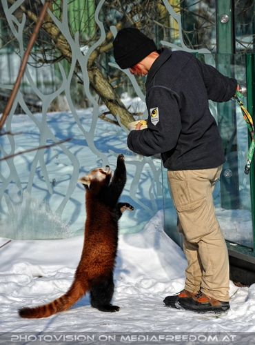 Rote Panda Mahlzeit 01