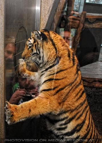 Spiegelung: Sibirischer Tiger,Charly Swoboda