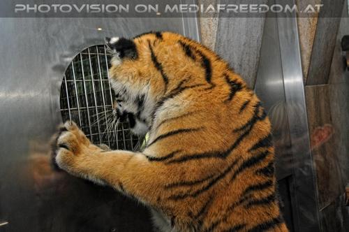 Wo ist mein Futter...im Spiegel: Sibirischer Tiger,Gabriele P.
