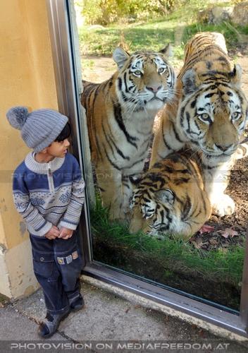 Der Sinn der Zoo Stars: Sibirischer Tiger