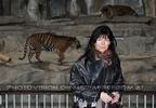 Sumatra Tiger 04