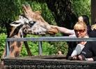 Giraffen Herde 3