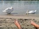 Zwei Schwäne am Donaustrand