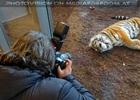 Sibirischer Tiger 12