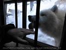 Polar Wölfe 09