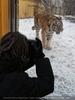 Sibirische Tiger im Schnee 04