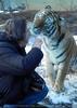 Sibirischer Tiger Winter 16