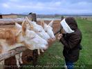 Weiße Esel 05