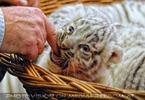 Reich an weißen Tigern 14 (Herbert Eder)