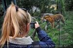 Sibirische Tiger 08
