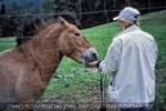 Przewalski Pferd 2