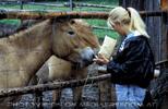 Beim Przewalski Pferd 04