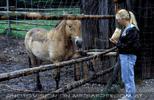 Beim Przewalski Pferd 03