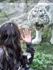 Weiße Tiger 14