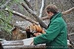 Rote Panda Fütterung 10