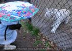 White Tiger Salim 22
