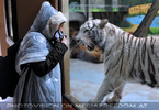 Weiße Tiger 10