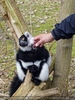 Bei den Lemuren 04
