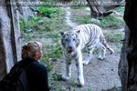 Weiße Tiger 17