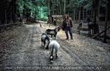 Ziegen und Pferde 1