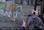 Sibirische Tiger 07
