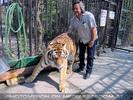 Sibirischer Tiger 22