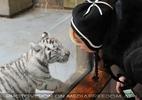Kinderstube der weißen Tiger Drillinge 40