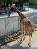 Kleine und große Giraffe