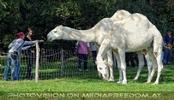 Am Hof 14 - Weiße Kamele