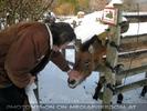 Przewalski Pferd streicheln