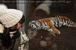 Sibirischer Tiger 15