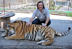 Sibirischer Tiger 28