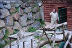 Schneeleoparden Fütterung 01
