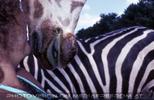 Auf Safari 04