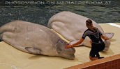 Beluga Whale Show 10
