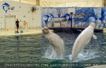 Beluga Whale Show 19