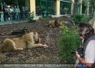 Beobachtung des Löwendinners