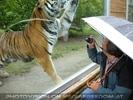 Tiger Brustbild