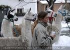 Mit der Lama Herde 05