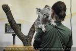 Gleich wird der Koala gewogen