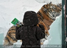 Das Kind und der Tiger