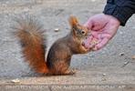 Eichhörnchen 04
