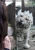 Weiße Tiger 09